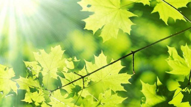 对植物来说,光既是一种信号,也是一种食物来源(图片来源:katalinks/Alamy)