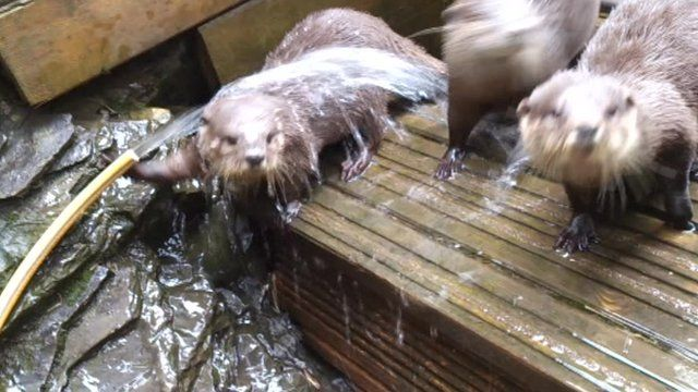 Otters at Welsh Mountain Zoo