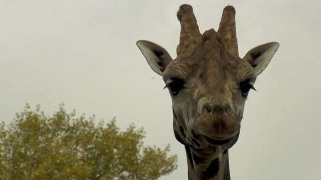 Rothschild's giraffe - one of the most endangered giraffe subspecies - at Chester Zoo