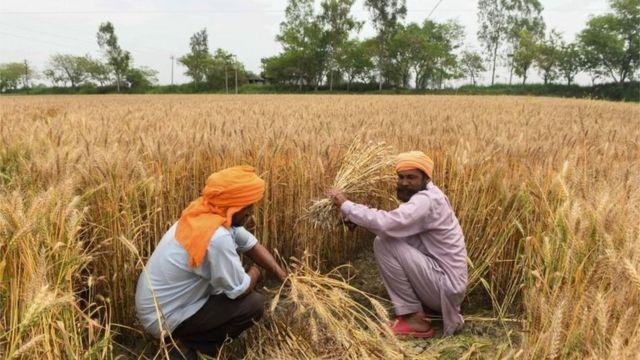 गेहूं की फसल काटते किसान