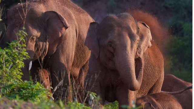 Vahşi Asya filleri, Yunnan eyaleti, Yuxi'nin Yimen ilçesinde avlanıyor ve oynuyor