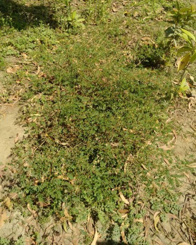 نیل کا پودا