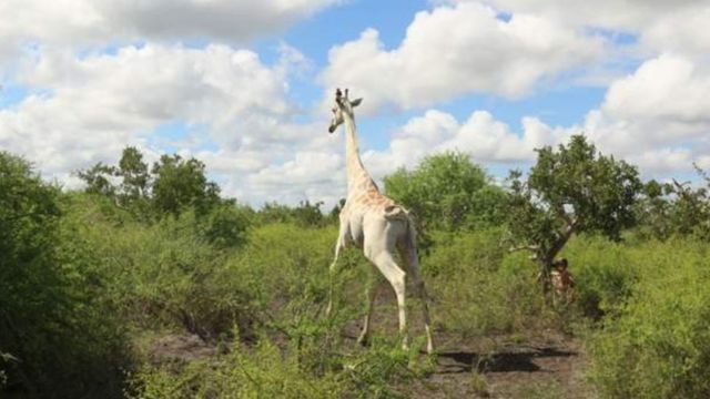 Girafa branca com GPS