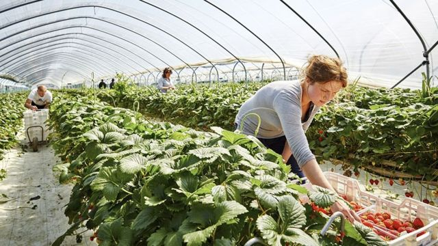 Mujer recogiendo tomates en huerto