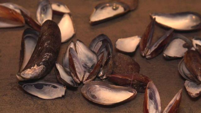 Conchas de mexilhão