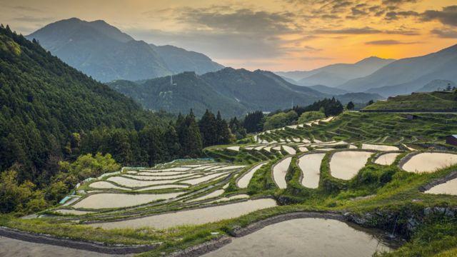 Plantação de arroz