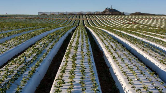 Plantación de fresas.
