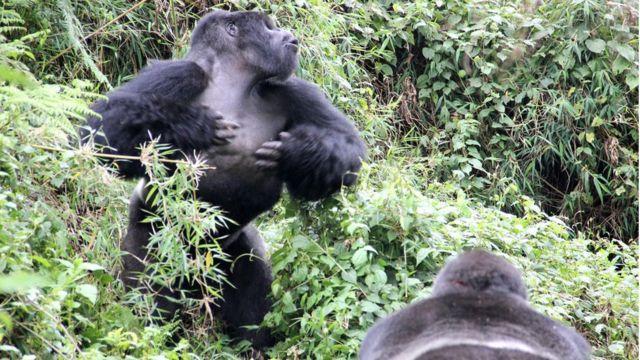 Gorila de montaña macho (Gorilla beringei beringei)