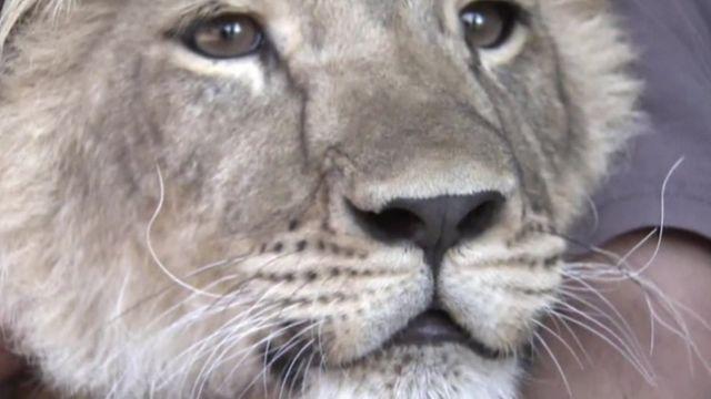 Maska the lion