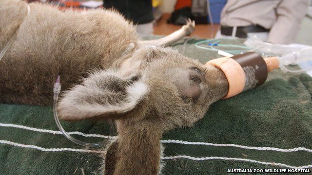 Close up of kangaroo as it lies on an operating table in Australia Zoo Wildlife Hospital