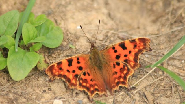 Butterfly temperature research 'could boost survival chances'