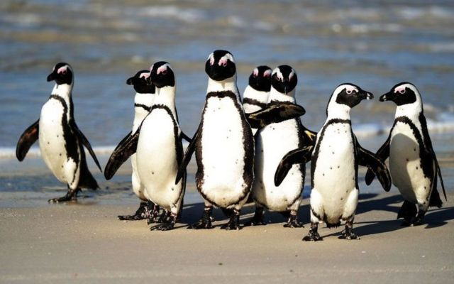 جماعة من طيور البطريق