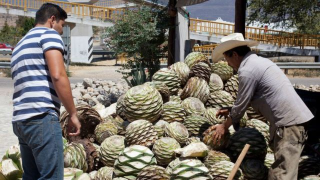 agave pineapples