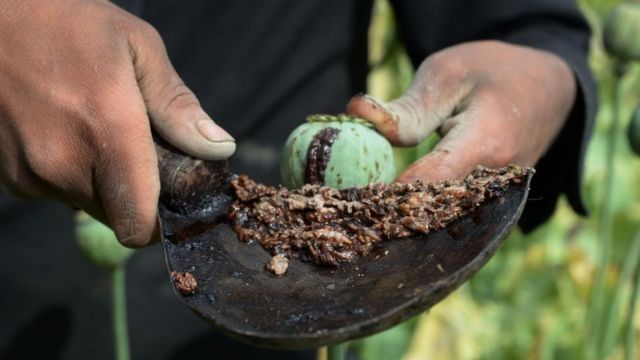 Afghan farmer harvests opium sap