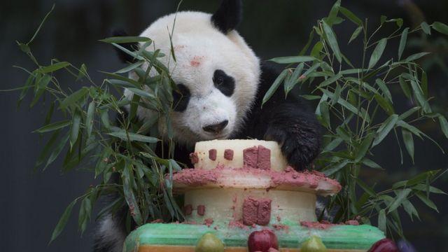 Большая панда в зоопарке Вашингтона