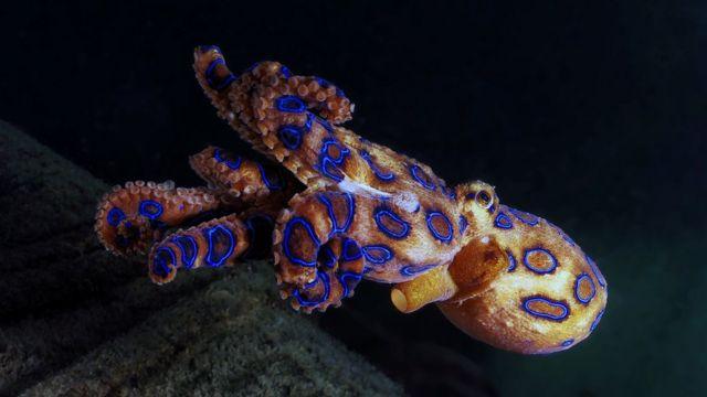 Polvo-de-anéis-azuis