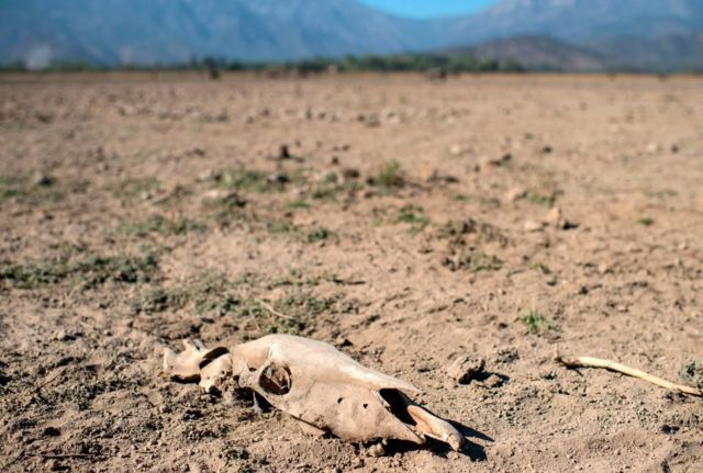 A cow's skeleton lies on the dried Aculeo Lake, previously a touristic attraction 70 km southwest of Santiago, Chile. Drought and overconsumption of water led to the lake drying out (March 2019).