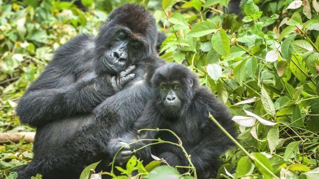 گوریل ها در کنگوه در معرض شکار غیرقانونی هستند