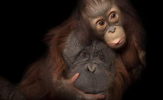 Orangutan Borneo (c) Joel Sartore