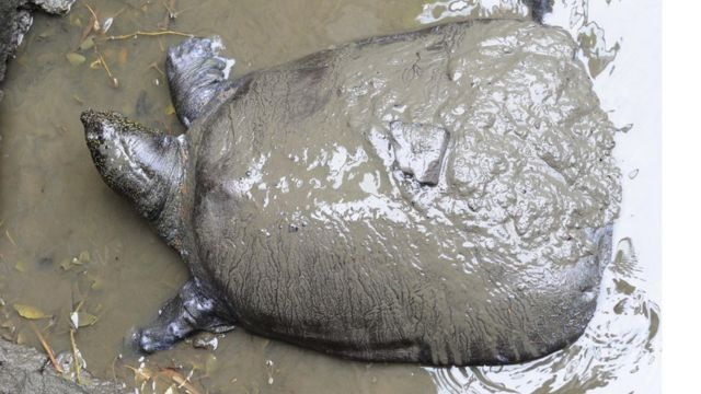 China turtle death: One of last four known Yangtze giant softshells dies
