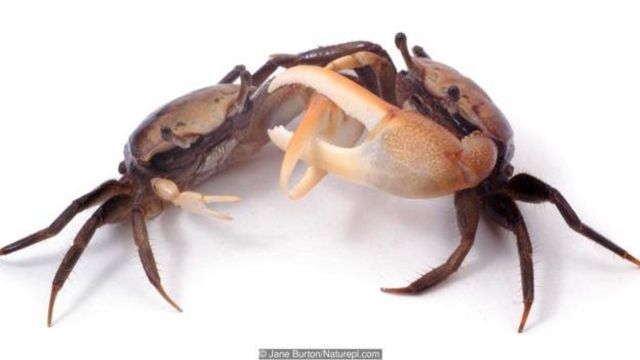 Kepiting uca dengan kaki bercincin yang melambaikan capitnya untuk menari bersama dalam satu kelompok.