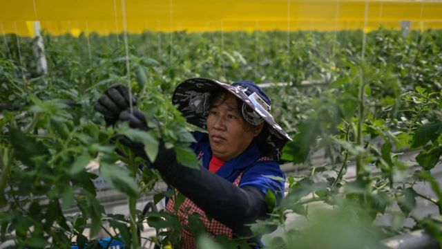 موظفة تعمل في مزرعة في مقاطعة جيانغسو شرق الصين