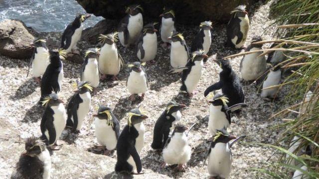 A rookery of northern rockhopper penguins
