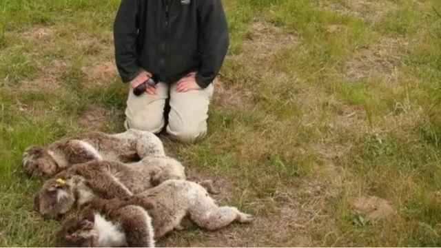 coalas mortos