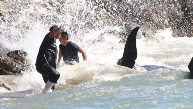 Em imagem de setembro de 2012, baleia piloto (que é uma espécie de golfinho) capturada em Taiji, no Japão, conseguiu passar pela barreira de redes colocada pelos caçadores