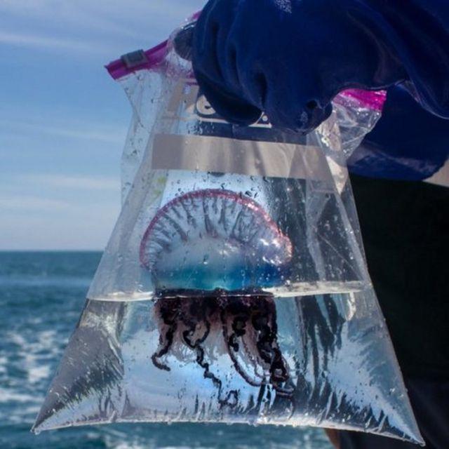 El Mejor Tratamiento Para La Picaduras De Medusa Y La Respuesta No Es La Orina Bbc News Mundo
