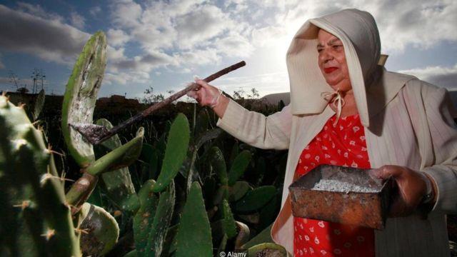 Fazendeira coleta insetos cochonilha de um cacto