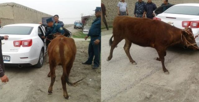 Police remove the stolen cow from the car