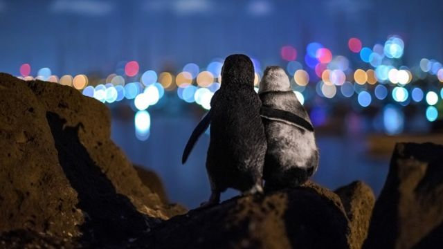 Овдовевшие пингвины