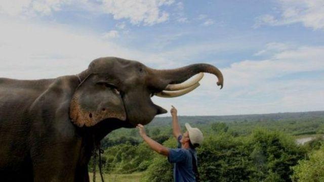 Gajah di Pusat Pelatihan Gajah Seblat, Bengkulu.