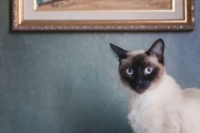 Sijamska mačka, sjedi ispred elegantnog svijetloplavog zida, ispred pozlaćenog okvira za slike