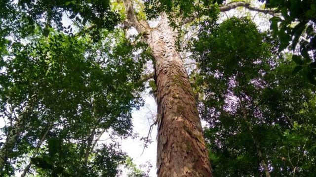 Árvore mais alta da Amazônia