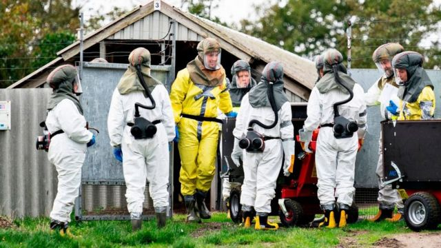 Empleados de la Administración Danesa de Veterinaria y Alimentos y la Agencia Danesa para el Manejo de Emergencias con equipos de protección trabajan para matar visones en Gjol, Dinamarca, el 8 de octubre de 2020,