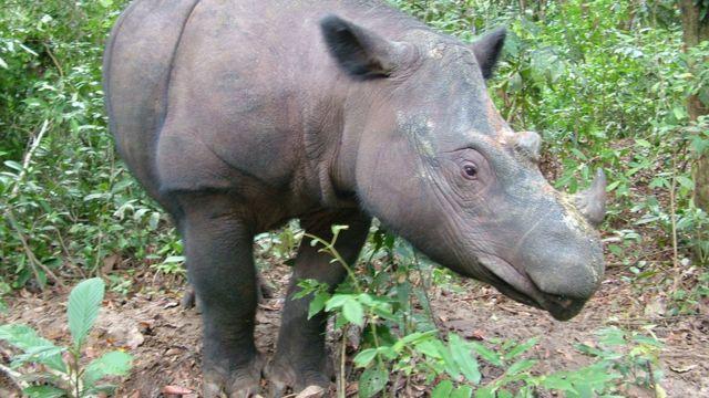 Last male Sumatran rhino in Malaysia dies