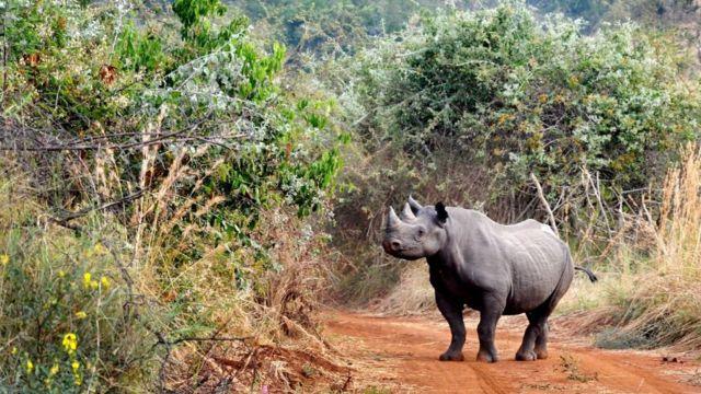 Rhino release: European parks bring animals to Rwanda