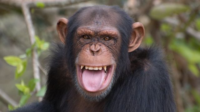 Un joven adulto macho chimpancé haciendo una expresión facial que se considera una sonrisa en el mundo de los chimpancés.