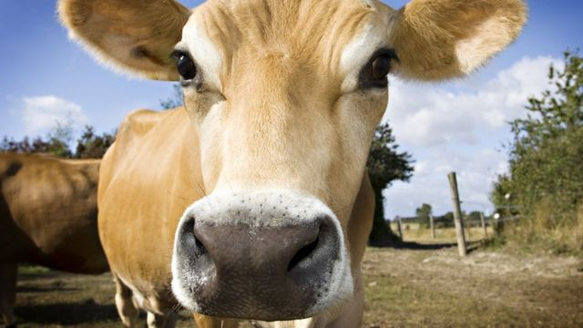 'Mind-blowing' cows hold clue to beating HIV