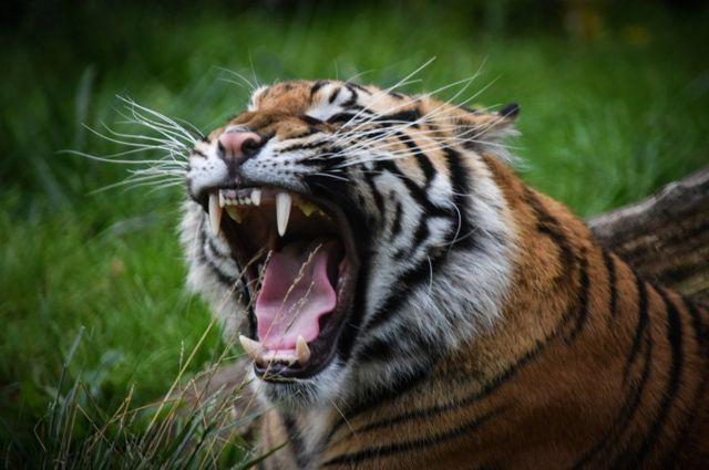 نمر أسيوي