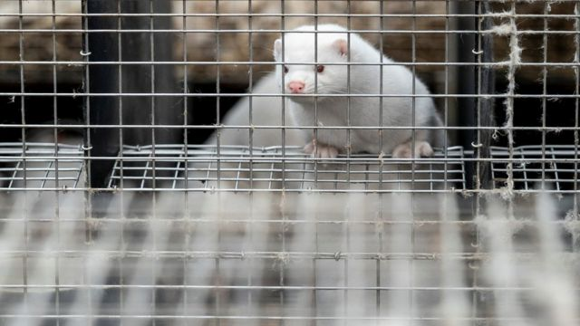 A caged mink is seen at the farm of Henrik Nordgaard Hansen and Ann-Mona Kulsoe Larsen near Naestved, Denmark, November 6, 2020
