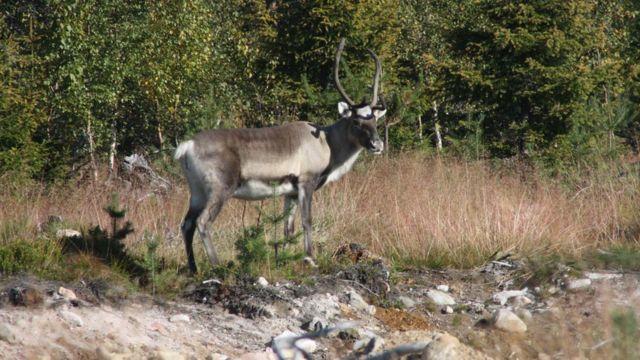 Fotos de animais observados em safari em Rovaniemi, na Lapônia