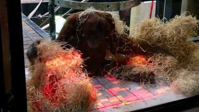 Orangutans at Melbourne Zoo are playing interactive videogames as part of a world-first enrichment program.