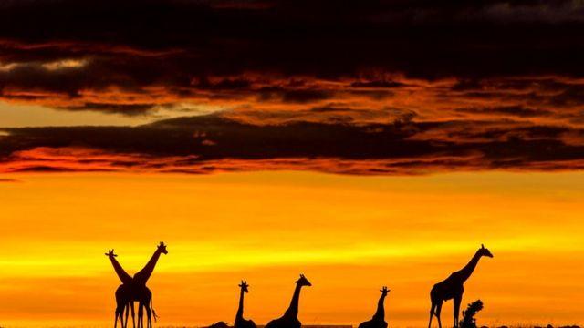Жирафы масаи (Giraffa camelopardalis tippelskirchi)