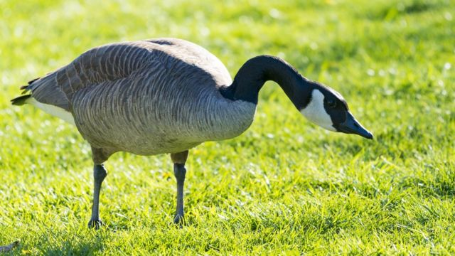 Laser technology fights unwanted geese in Canada