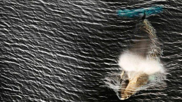 7월부터 일본은 밍크고래를 상업적으로 포경할 수 있다