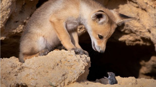 A fox looking at a mouse