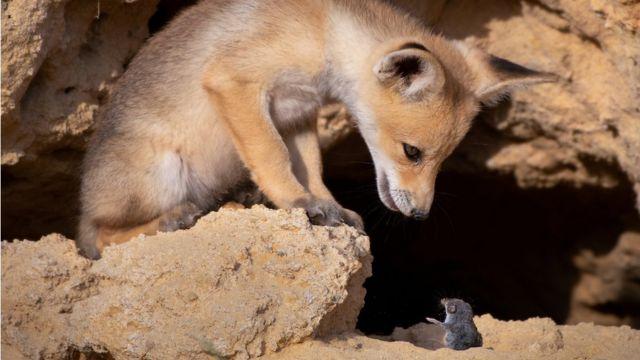 Bir tilki fareye bakıyor